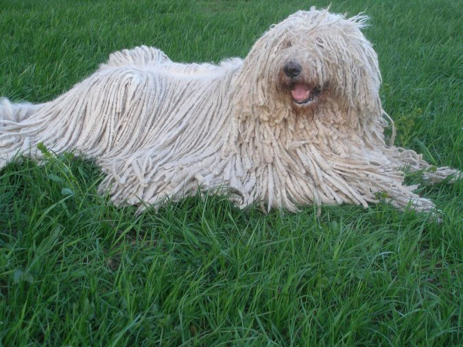 Komondor Unusual Dogs2