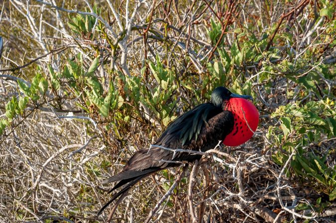 Magnificent Frigate Unusual Birds0