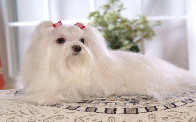 Maltese Dogs1