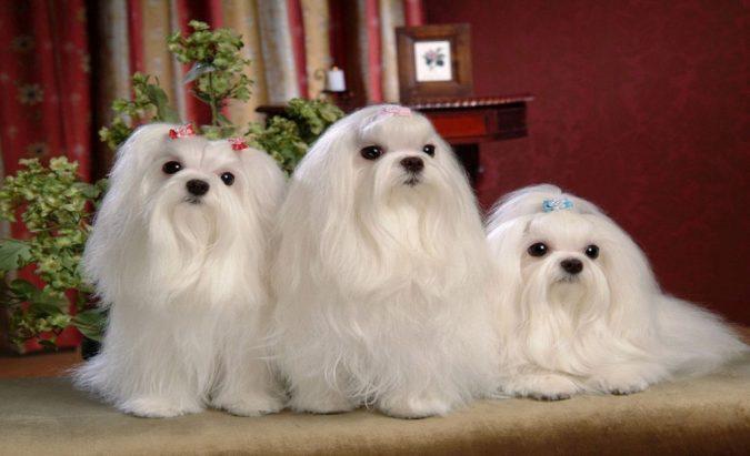 Maltese Dogs2