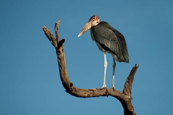 Marabou Stork2