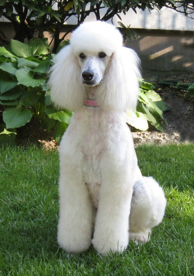 Poodle Dogs1