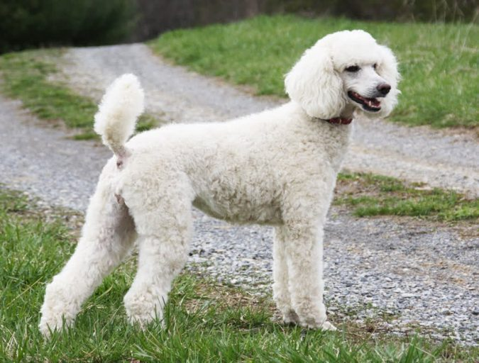Poodle Dogs2