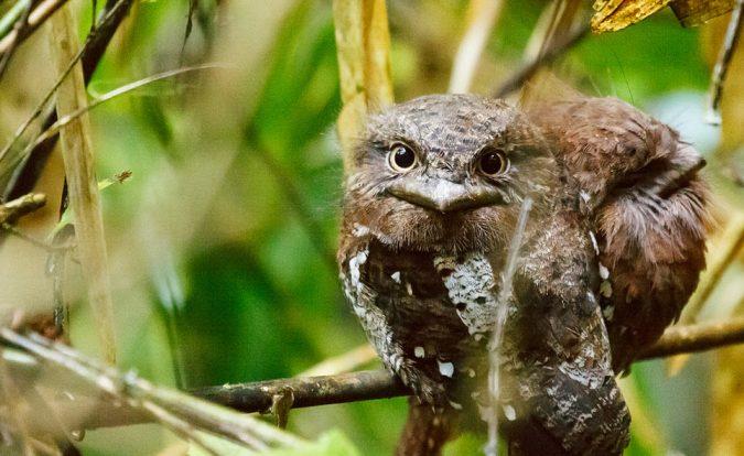 Sri Lanka Frogmouth2