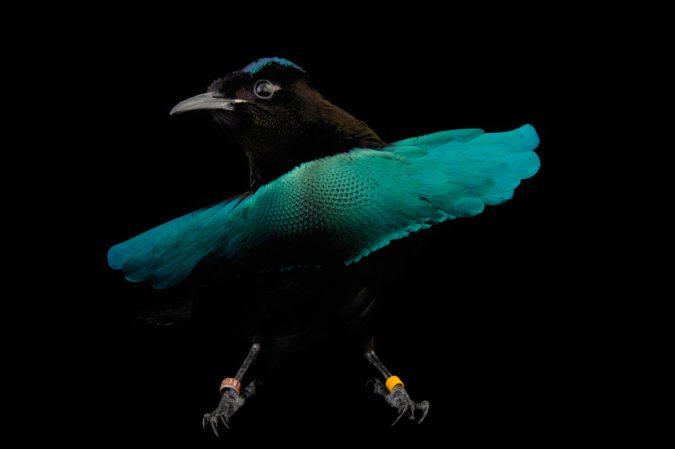 Superb Rare Bird of Paradise1