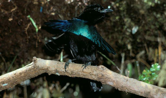 Rare Birds Of Paradise Top 10 Rarest U...