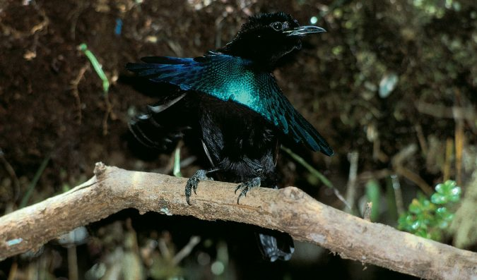 Superb Rare Bird of Paradise2