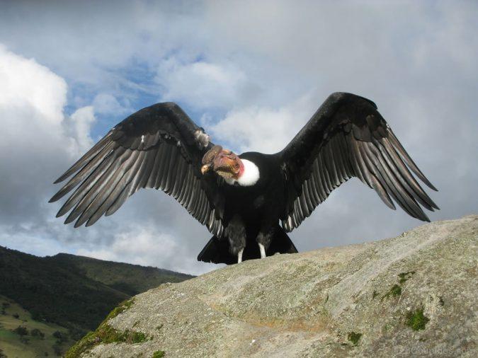 andean-condor2