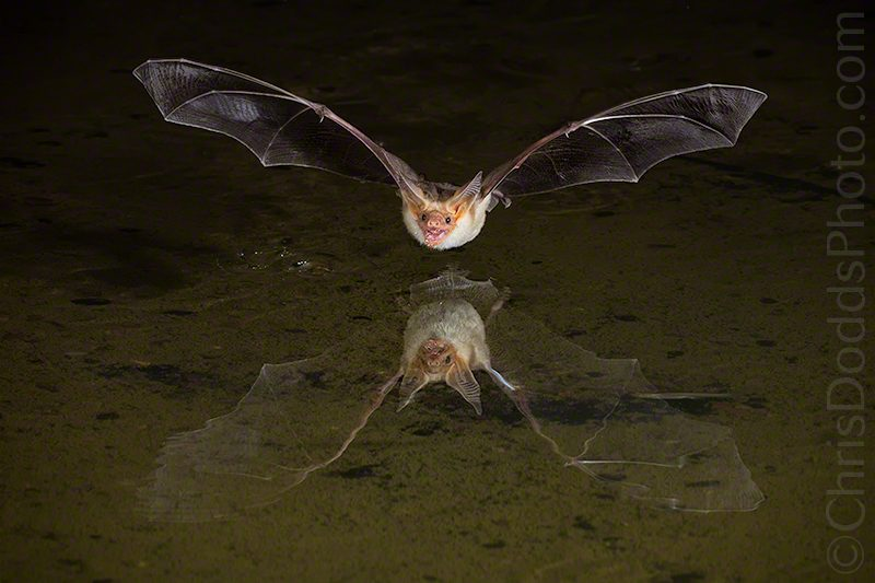 Pallid Bat Reflection