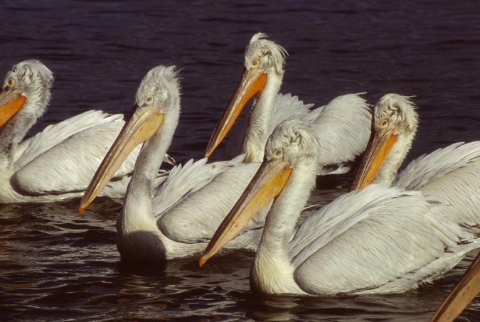 dalmatian-pelican3