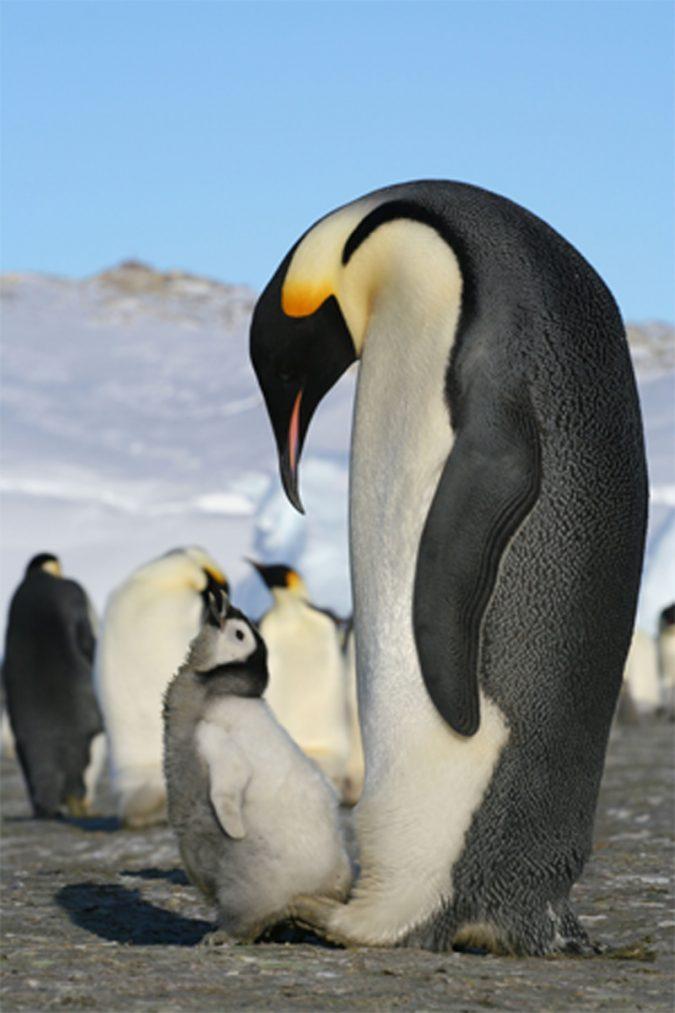 emperor-penguins2