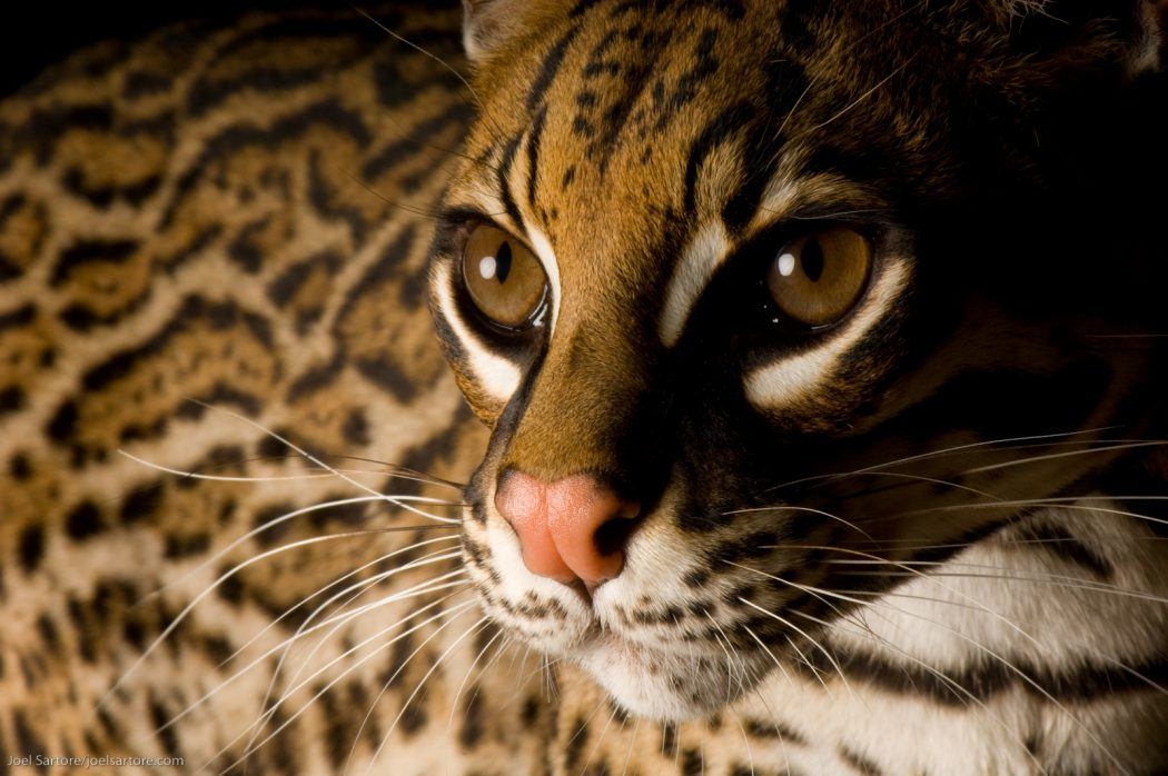 Ocelot (Leopardis pardalis), a secretive species that is down to just a handful in the United States. Its population in Central and South American remains unknown.