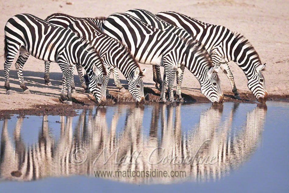 Plains zebras drinking, Kenya Africa