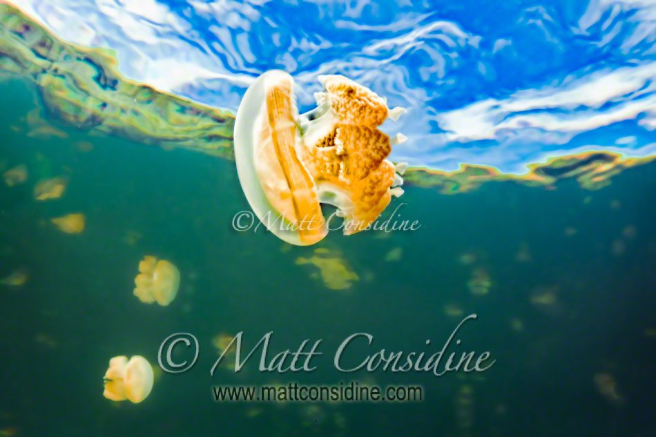 A stingless jellyfish suspended in space. The surrounding trees are visible through the water. The stingless jellyfish evolved over millions of years inside the protected lake, Palau Micronesia. (Photo by Matt Considine - Images of Asia Collection)