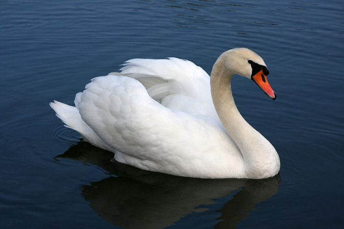 the-swan