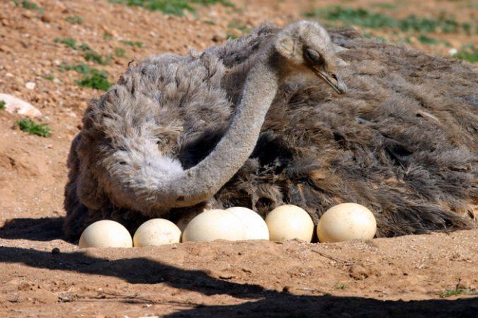 ostrich_eggs