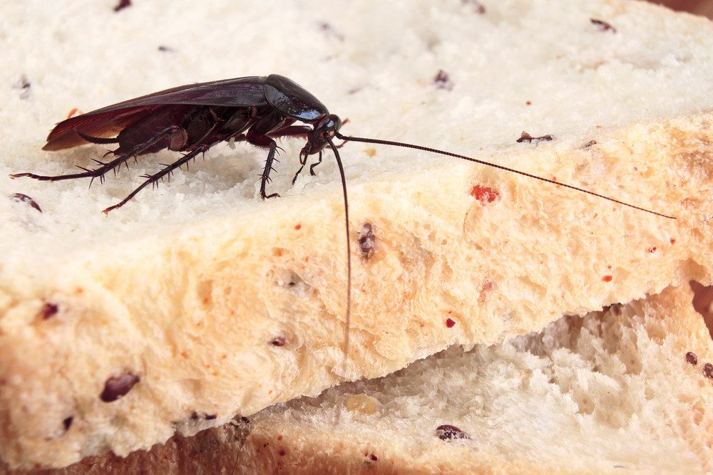 Photo of Top 10 Foods That Roaches Eat and Like