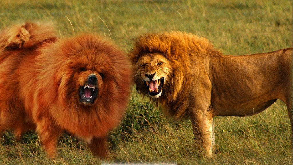 Photo of Top 10 Dog Breeds That Look Like Lions