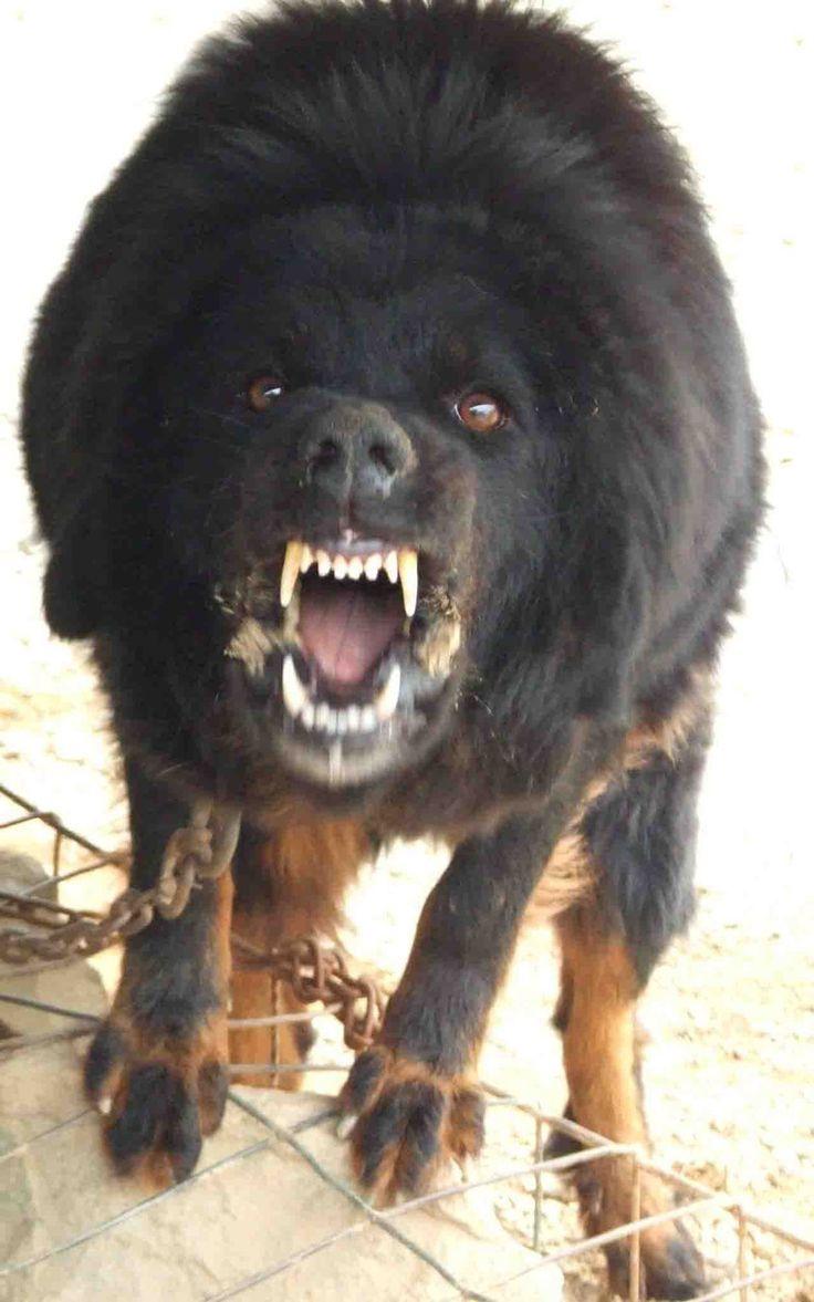 Mongolian Dog Breeds