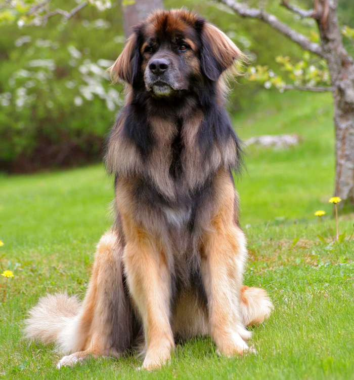 What Are The Dogs That Look Like Lions Called