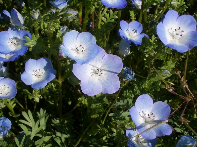you can plant it in loamy sand chalk and clay soil you must water it during dry periods in the summer to guarantee its flowering in partial shade