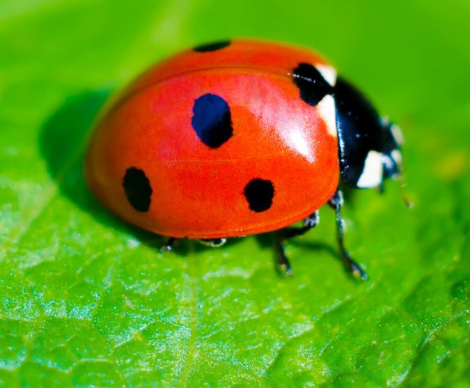 Ladybug Colorful Insects