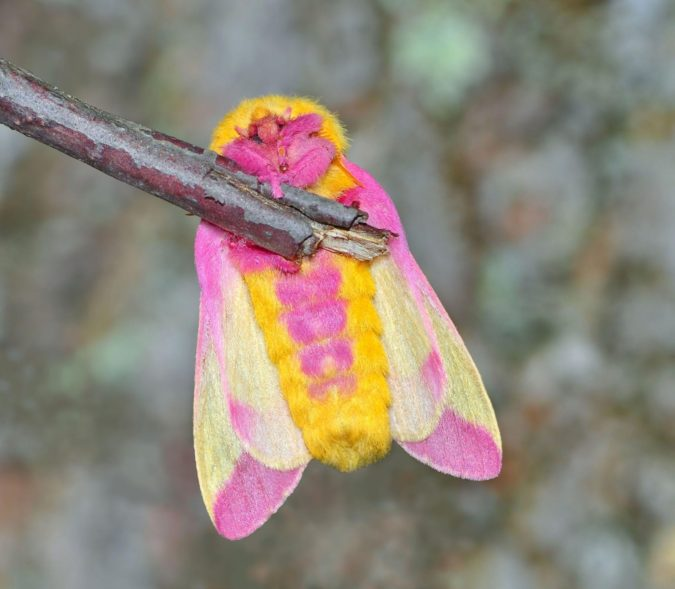 Rosy Maple Moth Colorful Insects